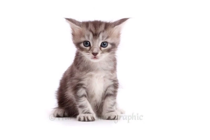 Timelapse Of A Maine Coon Kitten Growing Up Into A Gorgeous Cat In Just 20 Seconds
