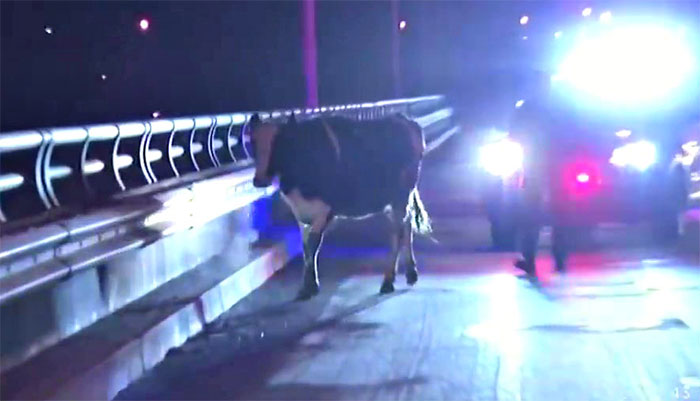 Pregnant Cow Escapes From A Truck That Was Taking Her To The Slaughterhouse And Gives Birth To A Wonderful Calf