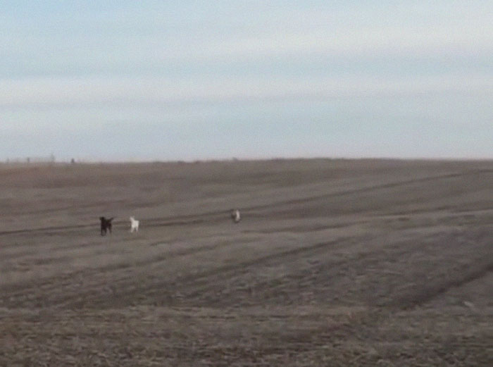Lab Owner Can't Believe His Eyes When He Finds His Missing Dog Running In The A Field With Two Unusual 'Friends'