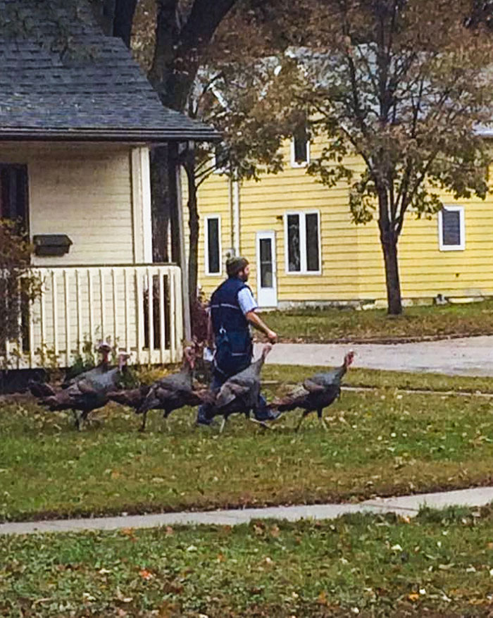 My Friend's Neighborhood Rafter Of Wild Turkeys Have Taken To Following The Mailman Around As He Walks From House To House, Like Some Kind Of Avian Pied Piper