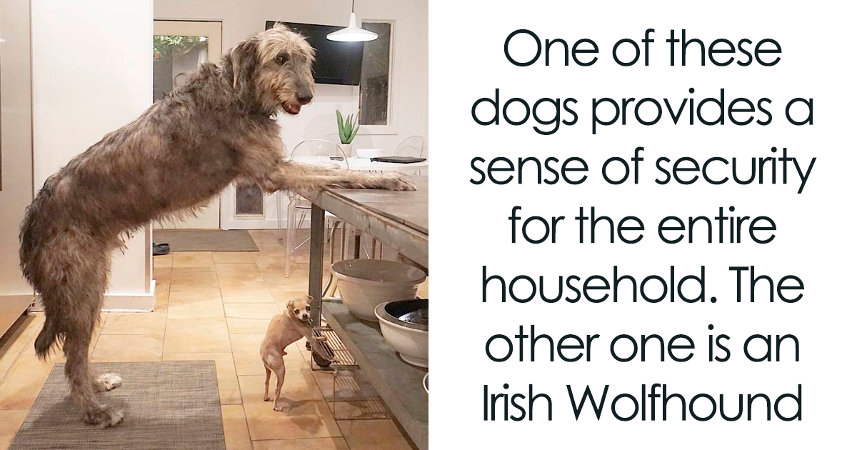 People Are Posting Hilarious Photos Of Their Irish Wolfhounds, And It's Crazy How Large They Are (71 Pics)