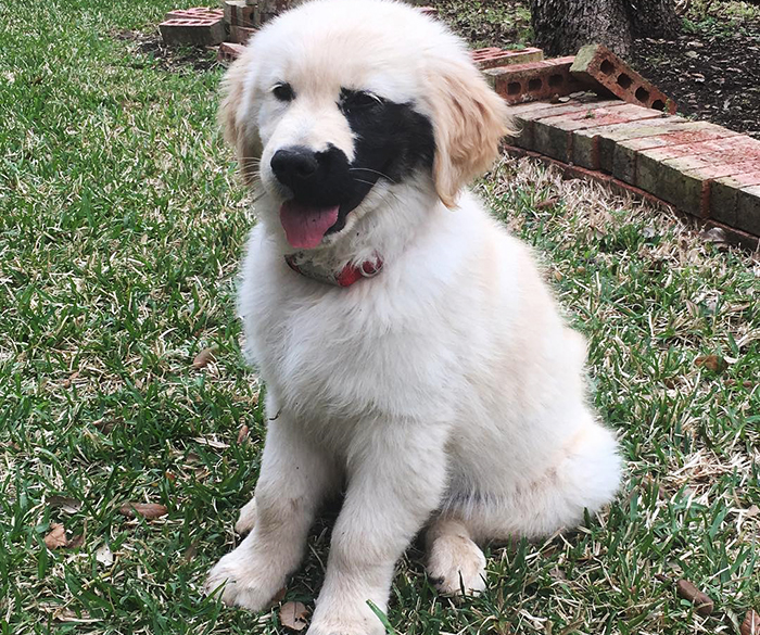 Golden Retriever Was Born With A Rare Genetic Mutation, And It Made Him Incredibly Adorable