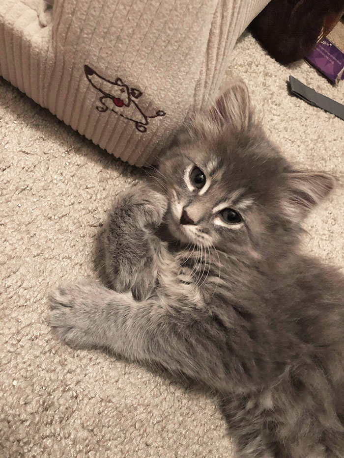 Maine Coon Kitten Purrrrrfectly Posing For His Closeup