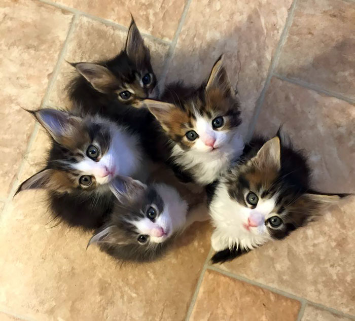 One Of These Baby Maine Coons Will Be Mine In A Few Weeks