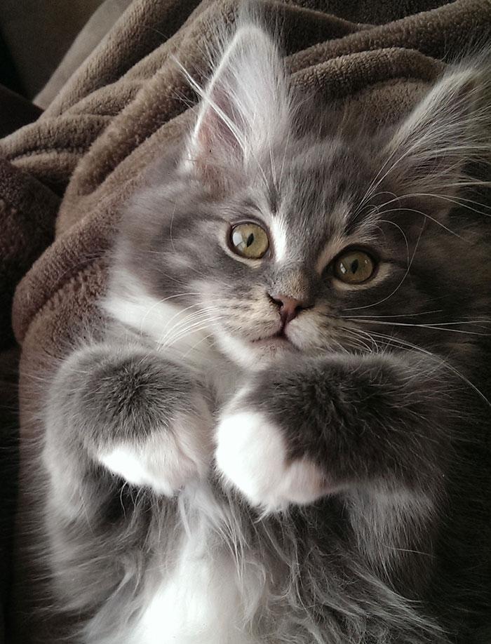 Maine Coon Kitten - Atticus