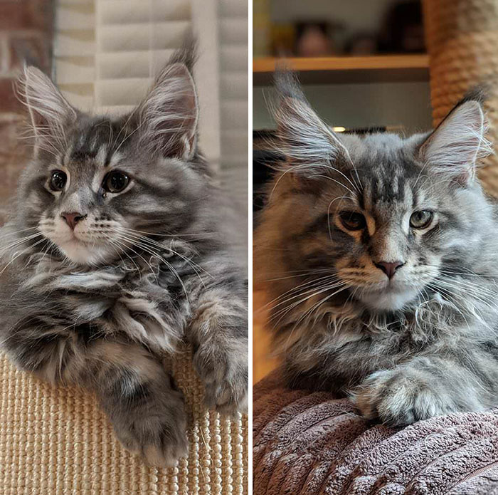 Hard To Believe, But This Is Our Kitten Huxley At 13 Weeks And At 14 Weeks. Maine Coons Grow Up Fast