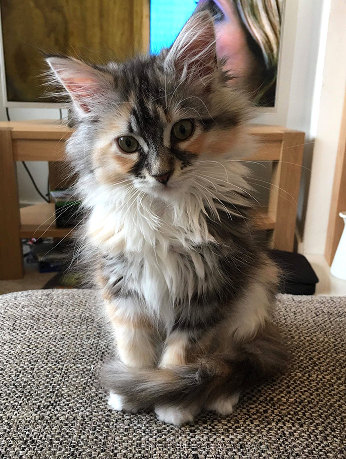 Our 14-Week-Old Maine Coon Kitten, Luna