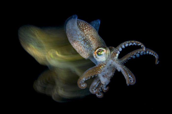 "3rd Place, Macro Ocean, ""Speedy Cuttlefish"" By Fabio Iardino"