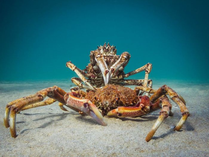 """1st Place, Compact Behavior, """"Cannibal Crab"""" By Pt Hirschfield"""