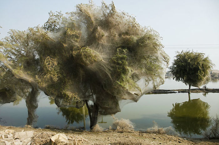 Las arañas han llenado estos árboles de telaraña para salvarse de una inundación