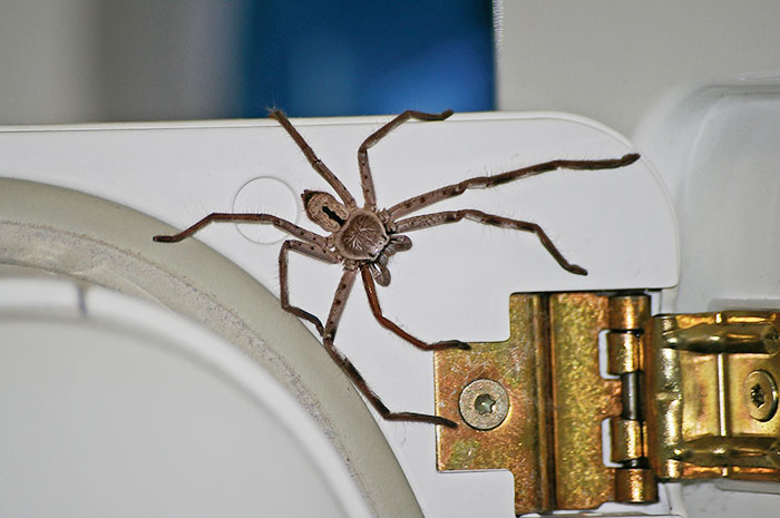 Guy Accidentally Sat On A Toilet With A Huntsman Spider In