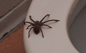 Guy Accidentally Sat On A Toilet With A Huntsman Spider In It, Says He Was Assaulted By 'World's Smallest Sexual Predator
