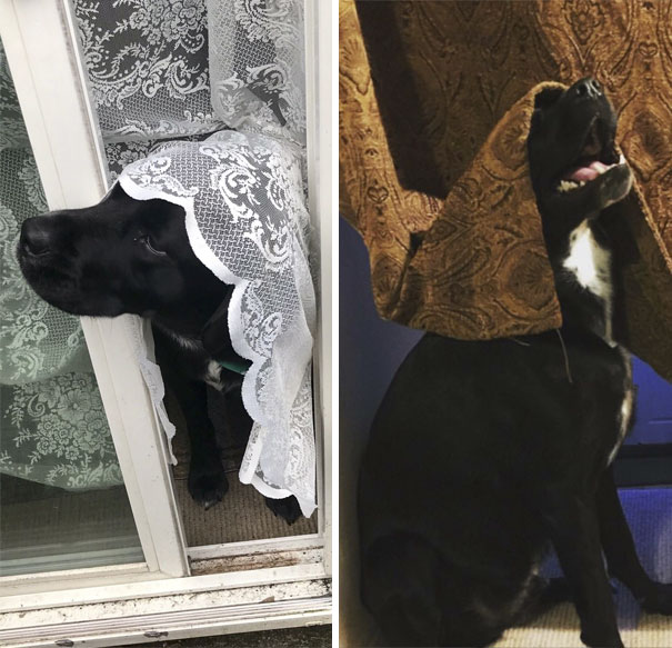 My Dog Has A Weird Thing For Curtains