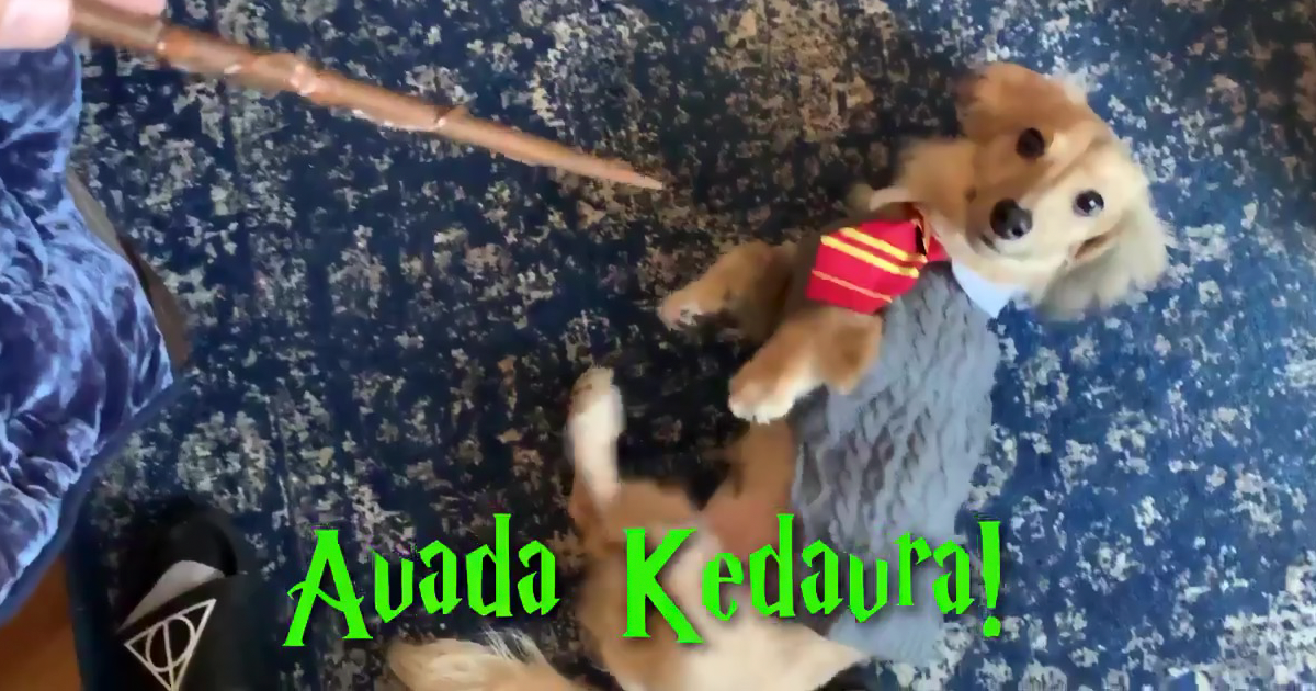 This Dog Responds To Harry Potter Spells And People Are Calling Him The Cutest Hogwarts Student Ever