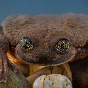 World's Loneliest Frog Named Romeo Has Finally Found His Juliet, And They Might Save Their Species