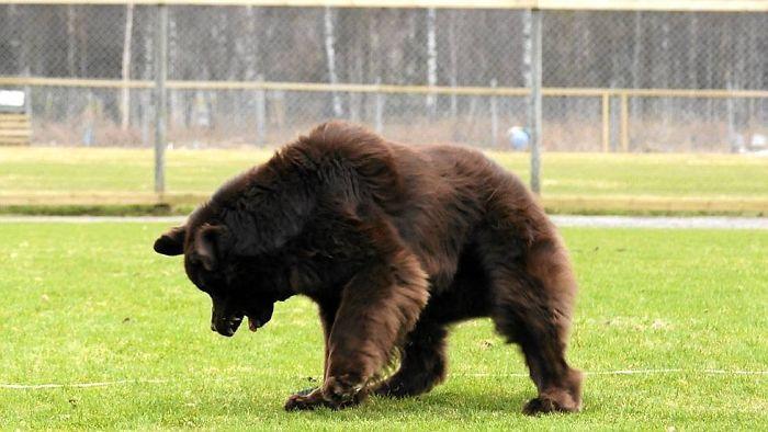 Esto tampoco es un oso