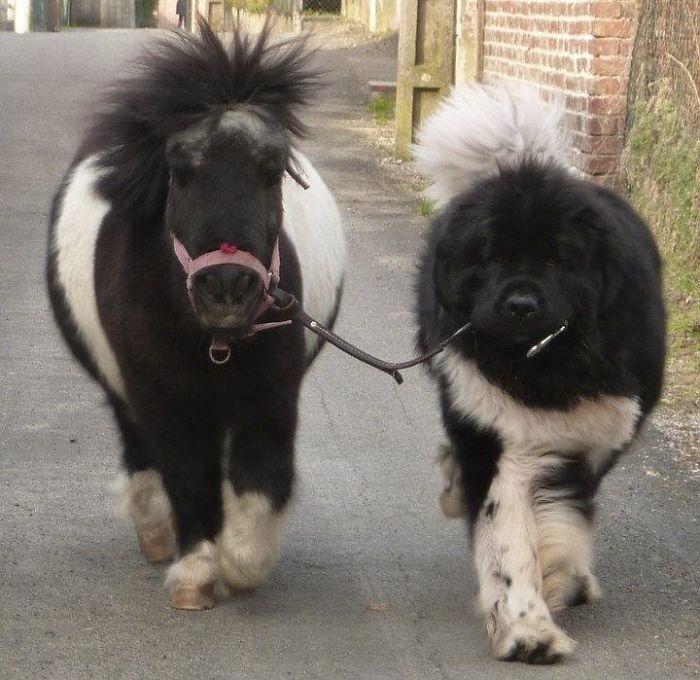 Sacando a su pony de paseo