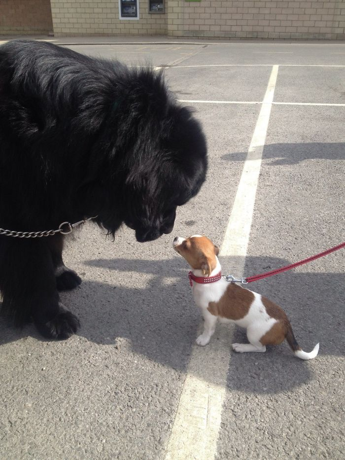 I Love It When My Newfie Meets A Smaller Dog