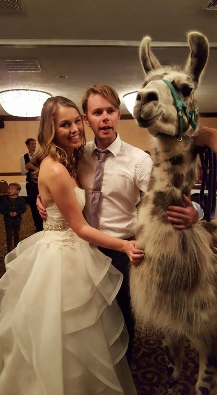 Sometimes The Hotel Holding Your Wedding Also Has A Llama Convention Booked