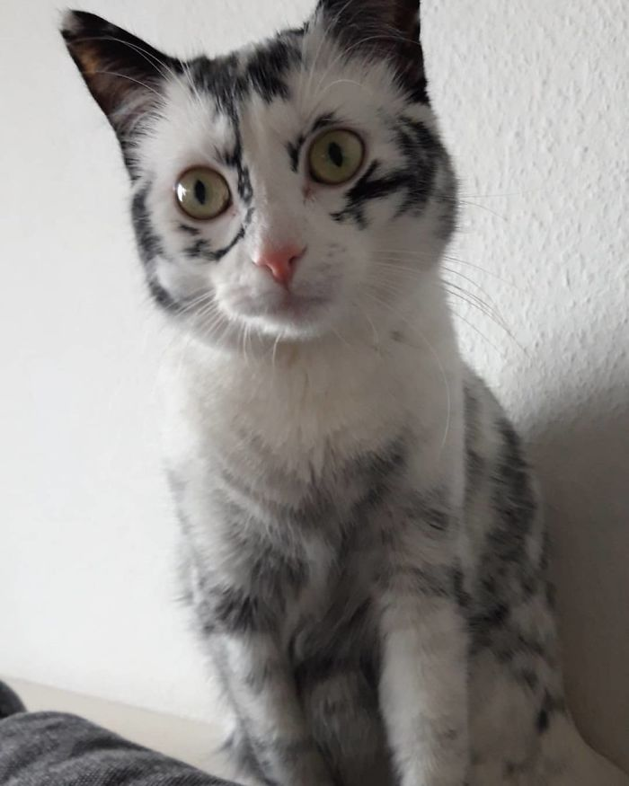 Woman Rescues A Kitty With A Rare Vitiligo Condition And Her Coat Turns Into Beautiful Snowflake-Like Markings