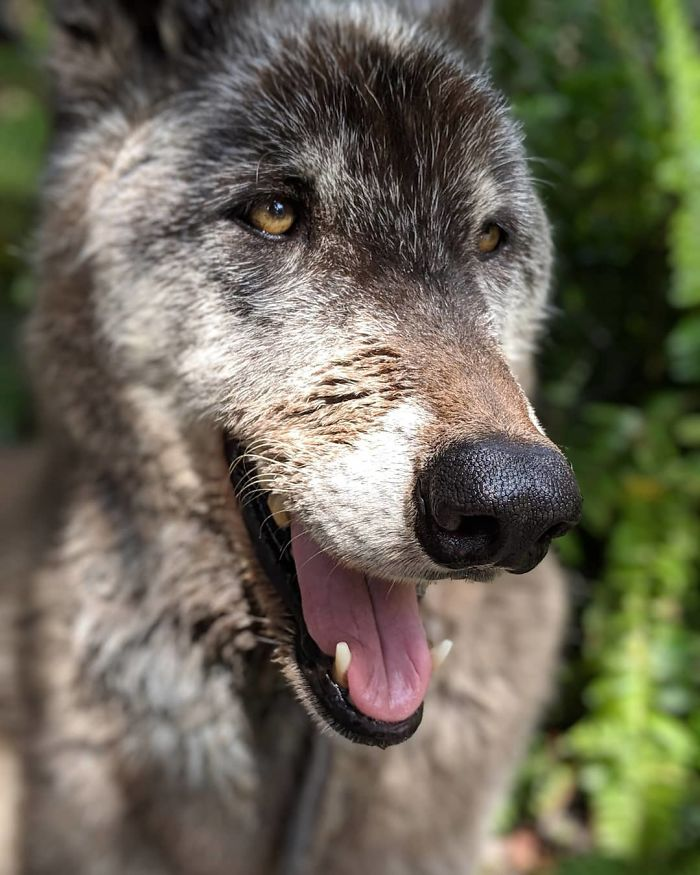 Owner Dumped Wolfdog At Kill Shelter When He Got Too Much To Handle, Luckily This Sanctuary Saved Him
