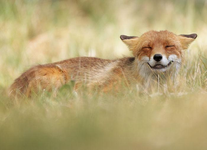 Zorro feliz