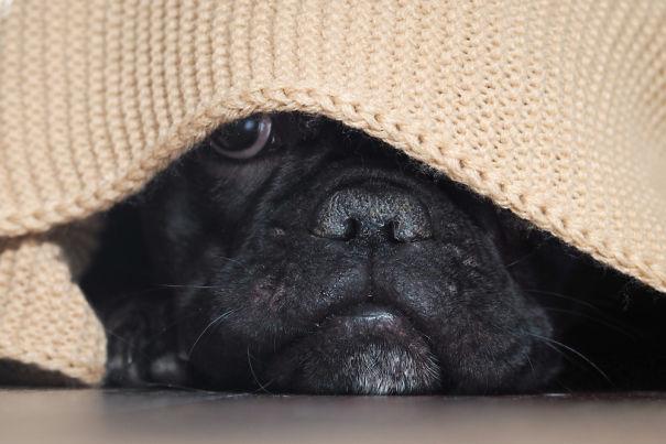 French-Bulldog-Hiding-5c744248658a9-png.jpg