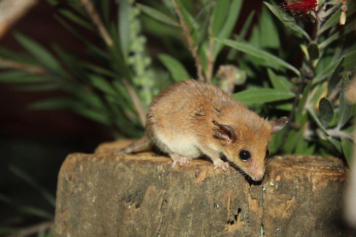 Burramys Parvus (Mountain Pygmy Possum)