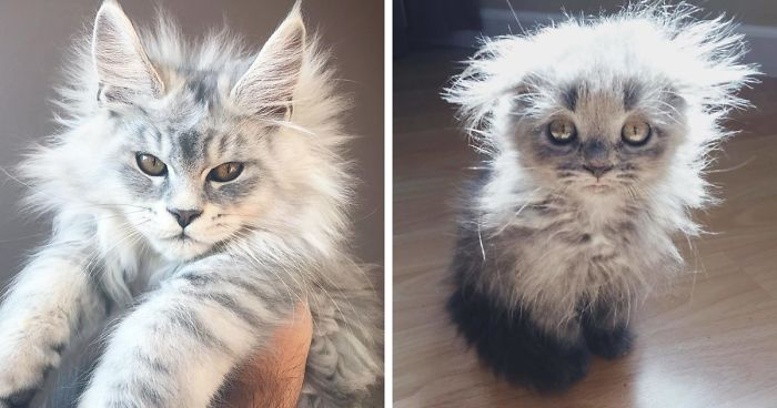 50 Cute Maine Coon Kittens That Are Actually Giants Waiting To ...