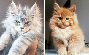50 Cute Maine Coon Kittens That Are Actually Giants Waiting To Grow Up
