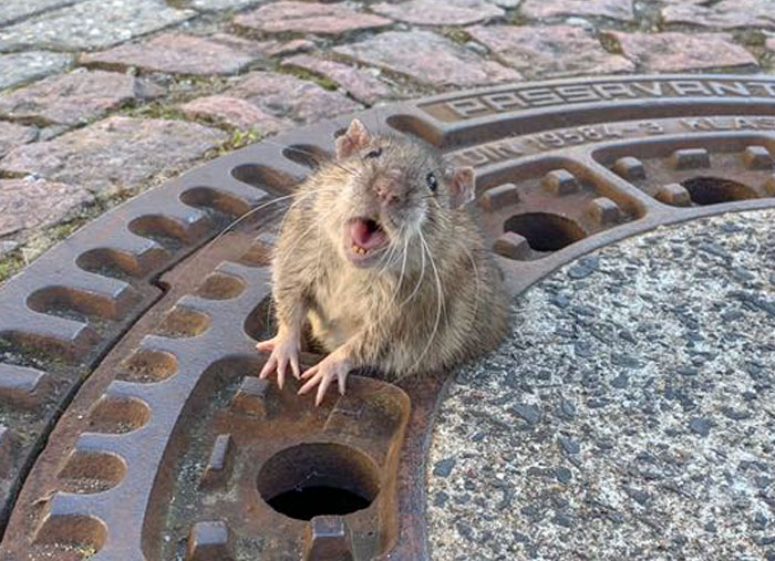 People Are Laughing At A Fat Rat That Got Stuck In Sewer Grate And Needed Fire Brigade To Save Her