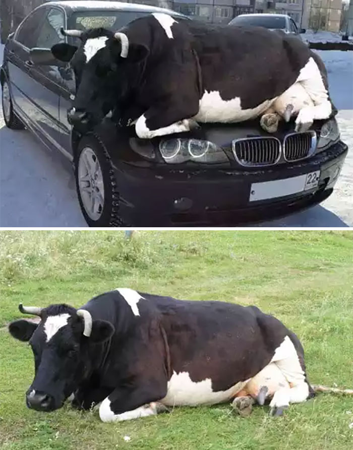 Cow Chilling On A Car