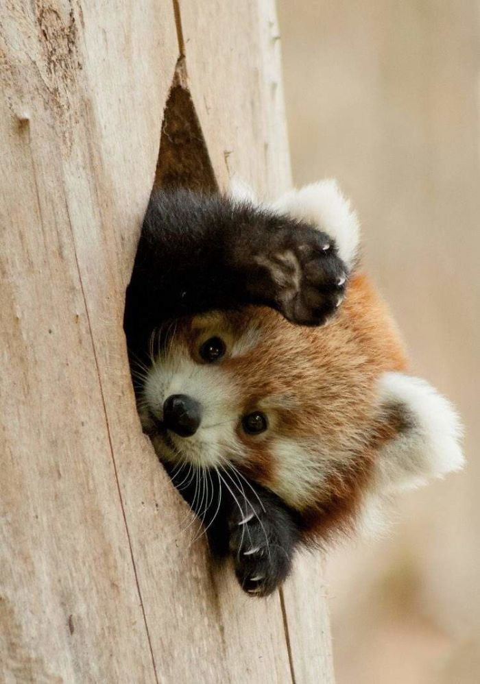 There's A Red Panda Popping Out Of A Hole! They Said… Share Your Photoshopped Images Of This Guy!