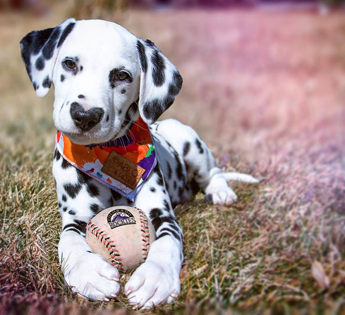 heart-shaped-nose-dalmatian-dog-wiley-27-5c62be6f8e797__700.jpg