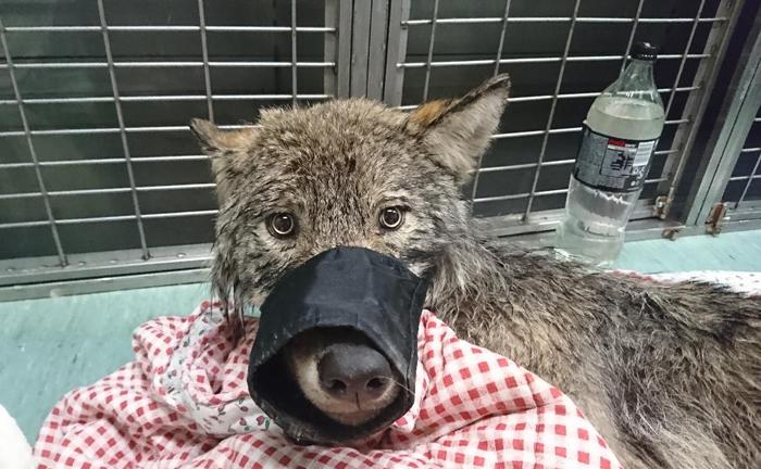 """Tres trabajadores en Estonia rescataron a un """"perro"""" de un río helado y lo llevaron a un refugio sin saber que era un lobo"""