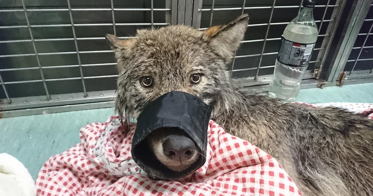 """Two Guys In Estonia Rescued """"Dog"""" From Frozen Lake, Brought It To Shelter Without Knowing It Was Actually A Wolf 
