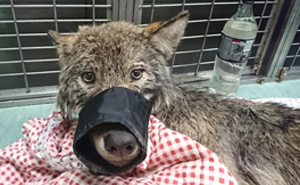 "Two Workers In Estonia Rescued ""Dog"" From Frozen Lake, Brought It To Shelter Without Knowing It Was A Wolf"