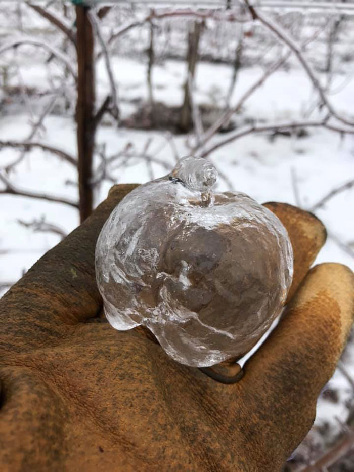 Farmer Surprised To Find 'Ghost Apples' On Trees After Polar Vortex