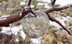 """Este granjero se sorprendió al encontrar """"manzanas fantasma"""" en sus árboles tras el vórtice polar"""