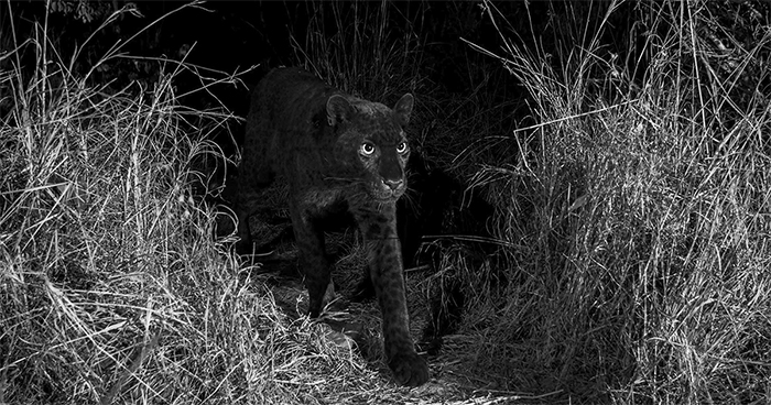 Photographer Sets Up Camera Traps To Photograph The Black Leopard In Africa For The First Time In 100 Years
