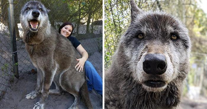 Cuando creció demasiado, el dueño dejó a este perro-lobo en un santuario para que lo sacrificaran, pero por suerte un santuario lo salvó