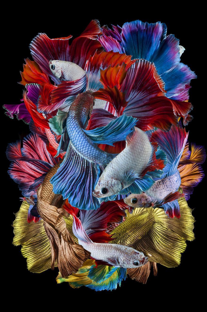 Creative: 'Tarian Ikan Cupang' By Dhiky Aditya, Indonesia