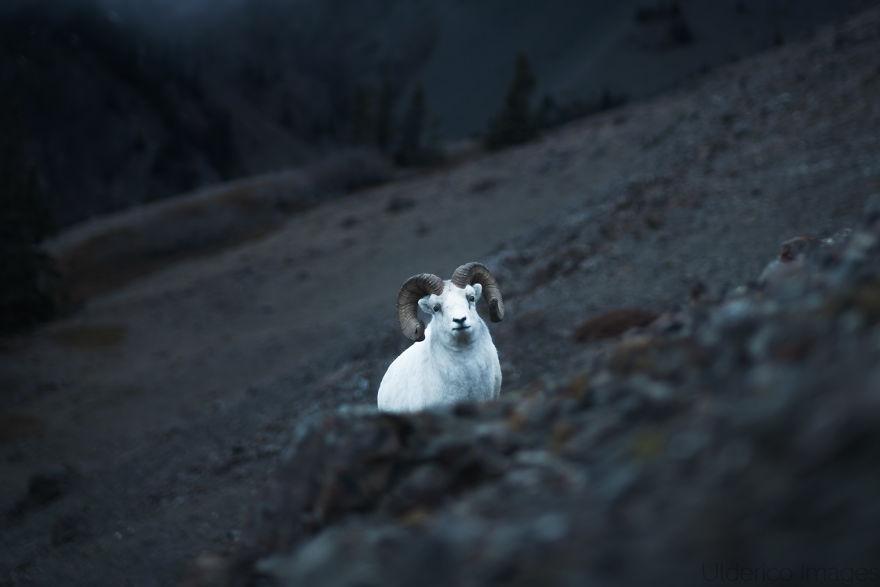Dall Sheep Above Kluane Lake, Bc