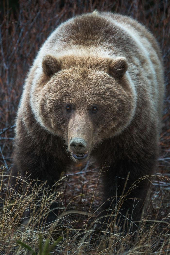Grizzly Bear Near Atlin, Bc