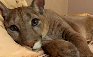 Puma Rescued From A Contact-Type Zoo Can't Be Released Into The Wild, Lives As A Spoiled House Cat