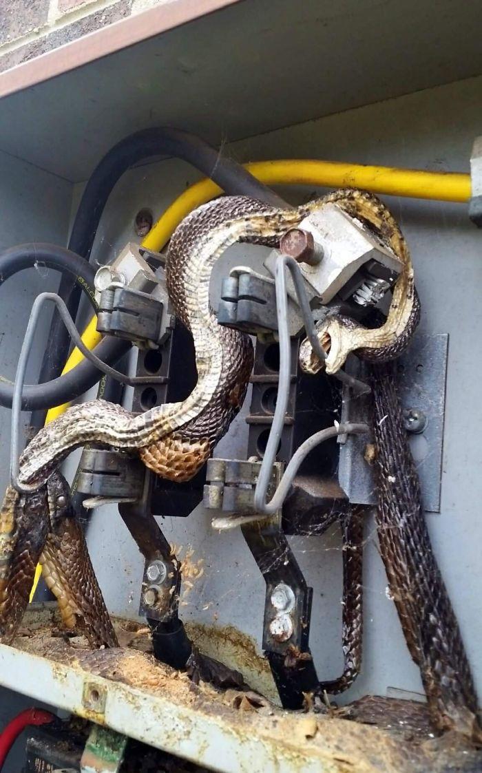 Esta serpiente se electrocutó y luego fue mordida por otra serpiente, que también se electrocutó