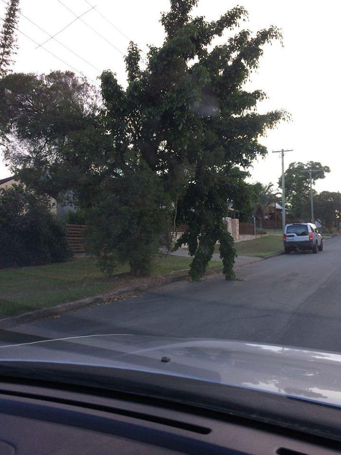 Árbol que parece un hombre que va a cruzar la carretera