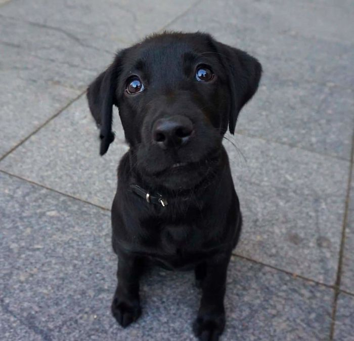 Barsa (Barca), 3-Month-Old, Labrador Retriever
