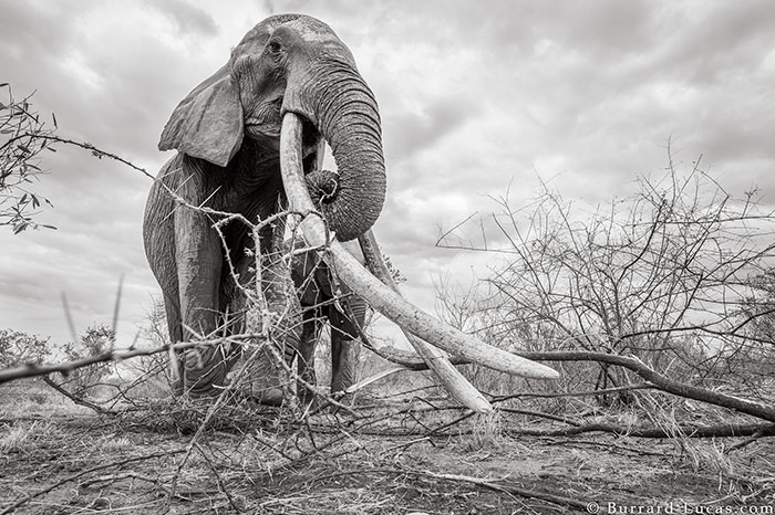 Last Photos Of The Legendary 'Elephant Queen' Before Her Death