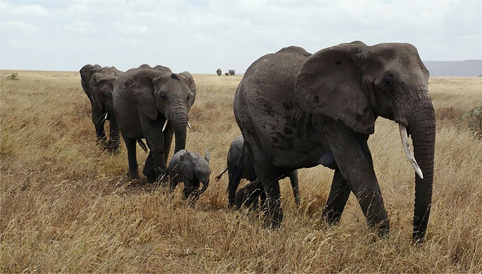 Thanks To Poachers, More And More Elephants Are Being Born Without Tusks